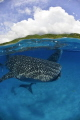 Whale sharks Philippines Donsol. Donsol