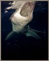 great white shark going bite