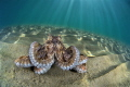 Octopus mammoths