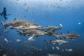 Summer Break Sand tiger sharks spend months aggregating around shipwrecks off North Carolina coast part their annual migration along east U.S. US