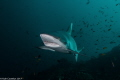 Grey Reef Shark about get its teeth cleaned