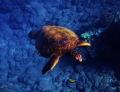 Turtle Maui