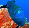 Trigger fish coral background. Two photos were used create this pic. background pic