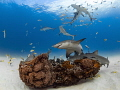 Reef Rally Lemon sharks Caribbean swarm around small mound rock coral Tiger Beach Bahamas