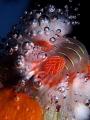 Hermodice carunculataBubble Catcher fire worm