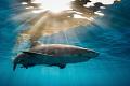 Light Embrace lemon shark glides through lateafternoon sunlight off coast Grand Bahama late-afternoon late afternoon