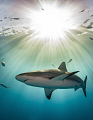 Magic Hour This image Caribbean reef shark was taken just before sunset. sun low horizon sea calm water acts like prism separating white light its individual colors. sunset colors
