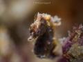 Potohi Pygmy Seahorse