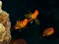 Curious jewel fairy basslet