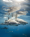 Youve Got Friend Me Two lemon sharks skim surface water Tiger Beach Bahamas. Bahamas