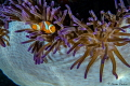 Beautiful colors surround this Spinecheek Anemonefish Raja Ampat. Ampat