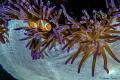 Beautiful colors surround this Spinecheek Anemonefish Raja Ampat. Ampat