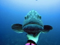 Large Grouper Potato Bass coming say hello our safety stop