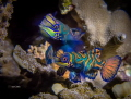 HAPPY TOGETHER Mandarin Fish