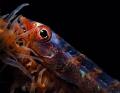 big eyegoby Bryaniops amplus whip coral