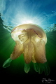 Barrel jellyfish Zeeland Netherlands. Netherlands