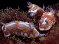 Chromodoris britoiJuvenile group confidence