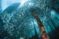 large school fish under jetty Arborek Island Raja Ampat