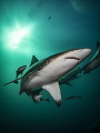 Portrait Oceanic Blacktip Taken Aliwal Shoals South Africa