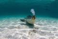 Australian sea lion IUCN endangered species making bubbles off coast Green Head Western Australia Fishermans Island Nature Reserve. Reserve