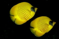 pair Masked Butterflyfish Red SeaEgypt