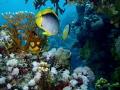 pair fish beckon me follow them adventure Red Sea. Sea