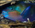 bulletheaded Parrotfish makes itself comfortable night Red Sea. Sea