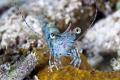 Nice little shrimp end night dive
