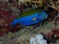 Blue Tailed TrunkfishOstracion cyanurus photographed during night dive Marsa ShounaRed SeaEgypt
