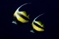 pair Red Sea Banner fish Heniochus intermedius. intermedius). intermedius)