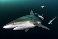 Flyby blacktip shark passes group remoras trailing along Aliwal Shoals South Africa