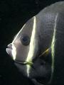 Juvenile angel fish artificial reef Blue Heron Bridge