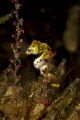 Pontohi Pygmy Seahorse trying hide. But we found you hide