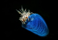 Tiger shrimpLembeh strait 2017Nikon D800E 105 macro 1strobo Inon Z240 snoot Retra.ISO100 F221200 Retra. Retra F22,1/200 F22,1200 F22,1 200
