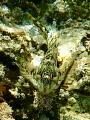 Blenny Lipophrys polis off Portland Bill UK
