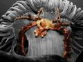 Hanging Crab Inachus sp Snakelocks anemone Anemonia viridis Original picture taken Dunmanus Bay Ireland. Ireland