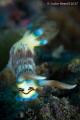 Nudibranch Wakatobi