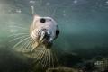 Flying inGrey seal Farne Islands
