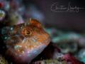 Blenny found shallows Zonqor Marsaskala