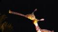 closeup iconic Australian Weedy Seadragon. Its vibrant colors treasure everyone loves underwater world. close-up close Seadragon world