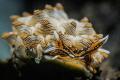 Cyerce Nigra nudibranch closeup