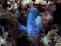 Arabian Angelfish front