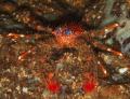 Spiny squat lobster Galathea strigosa Picture taken Kenmare Bay Ireland.