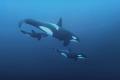 Orcinus orcaKiller whaleNorwayCanon 5D MarkIII 24mm lens F2.81250ISO1600. orca/Killer orca Killer whale/Norway/Canon whale Norway Canon F2.8,1/250,ISO1600. F28,1/250,ISO1600 F2 8,1/250,ISO1600 F2.8,1250,ISO1600. F2.8,1 250,ISO1600.