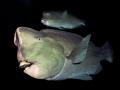 Bumphead Parrotfish near USS Liberty wreck Tulamben