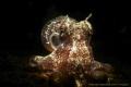 little octopus AnilaoPhilippines octopus/ Anilao-Philippines Anilao Philippines