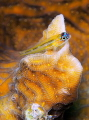Peppermint goby Coryphopterus lipernes Picture taken Bonaire. Bonaire