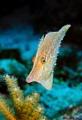 Slender filefish Monocanthus tuckeri Picture taken Oilslick Leap Bonaire. Oil-slick Oil slick Bonaire