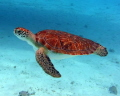 Turtle swimming off Klein Curacao. No lights used. Curacao used