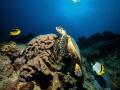 Hawksbill sea turtle Eretmochelys imbricata frequently encountered years El Quadim bay